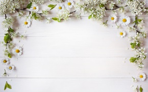Wallpaper branches, the flowers are white, decor, background, petals, chamomile