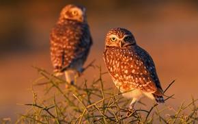 Wallpaper branches, owls, Burrowing owl, birds
