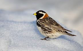 Picture nature, bird, beak, Lapland ...