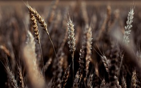 Picture wheat, field, nature, beauty, Russia