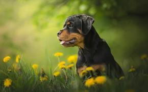 Picture flowers, dog, Rottweiler, puppy, dandelions, bokeh