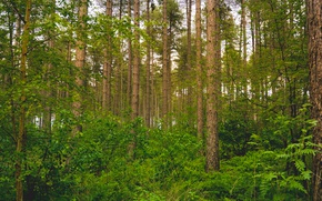 Picture greens, forest, trees