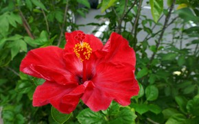Picture flower, nature, Bush, Red, flowering, Hibiscus