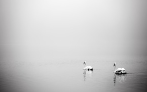 Picture birds, fog, lake, swans