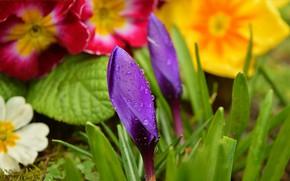 Picture Drops, Flowers, Buds, Flowers, Krokus, Crocuses, Purple flowers, Drops, Purple flowers