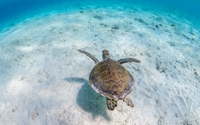 Picture sand, sea, water, background, turtle, the bottom, underwater world, sea turtle, sea, blue background, swimming