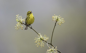 Picture nature, bird, spring, Prairie Warbler