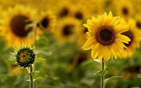 Picture summer, sunflowers, nature, heat, bright, Sunny
