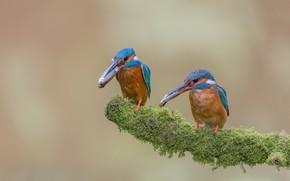 Picture fish, birds, moss, branch, catch, Alcedo