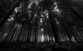 Picture the sky, grass, fog, silence, Forest, pine, twilight