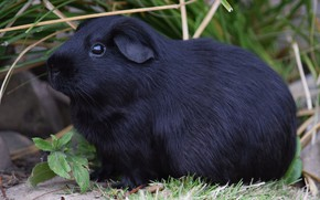 Picture nature, black, weed, Guinea pig