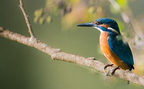 Picture bird, branch, Kingfisher, kingfisher