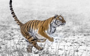 Picture snow, tiger, running