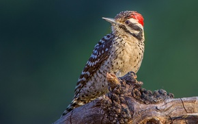 Picture bird, beak, Texas woodpecker
