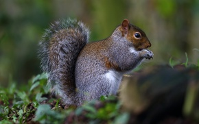Picture protein, animal, rodent, squirrel