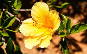 Picture yellow, bright, hibiscus