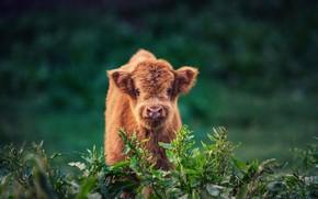 Picture Nature, bushes, Calf
