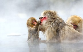 Picture Japan, couples, a snow monkey, Japanese macaques, Jigokudani