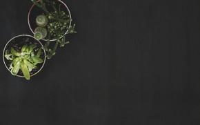 Picture plants, cactus, cacti, black background, pots