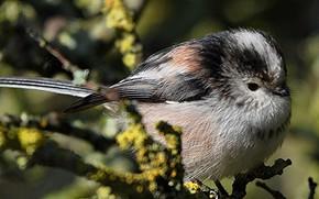 Picture bird, branch, beak, long-tailed tit