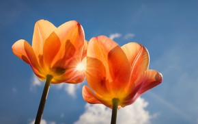 Picture the sky, macro, petals, tulips, Duo, two Tulip