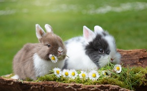 Wallpaper animals, grass, flowers, nature, chamomile, pair, rabbits