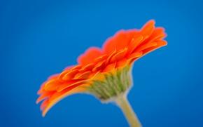 Picture macro, petals, gerbera