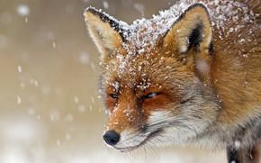 Picture winter, face, snow, snowflakes, Fox, Fox, bokeh