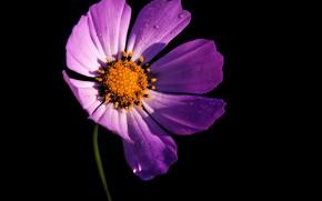 Picture flower, pink, shadow, contrast, black background, kosmeya