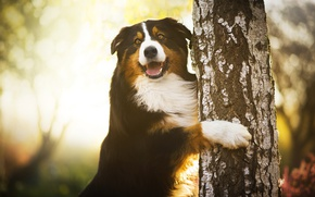 Picture tree, dog, paws, birch, Chilli