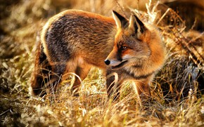 Picture grass, Fox, red, wildlife, Fox