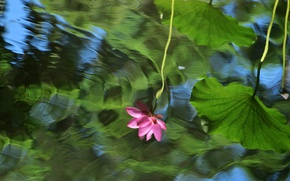 Picture flower, leaves, flowers, lake, pond, reflection, mood, cute, ruffle, Lotus, Lotus, pond, in the water, …