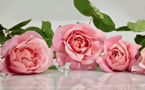 Wallpaper pink, roses, reflection