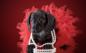 Picture skirt, girl, puppy, beads, Dachshund