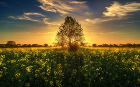 Picture field, sunset, tree, Switzerland, rape