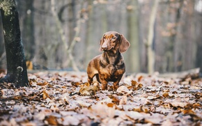 Picture autumn, leaves, dog, Dachshund