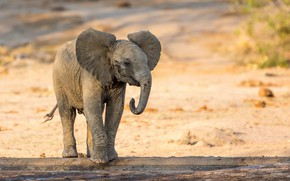 Picture nature, elephant, baby