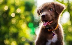 Wallpaper cute, puppy, light, Labrador, puppy, dog, bokeh, cute
