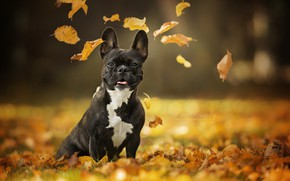 Picture autumn, look, leaves, portrait, dog, bokeh, French bulldog