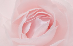 Picture pink, rose, petals