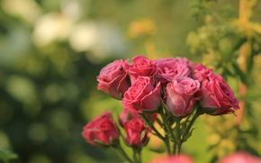 Picture roses, blur, pink