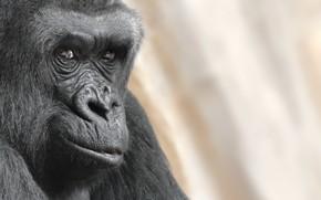 Picture look, portrait, monkey