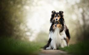 Picture dogs, a couple, friends, bokeh, two dogs, Sheltie, Shetland Sheepdog