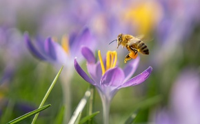 Wallpaper spring, bee, crocuses, macro, flowers