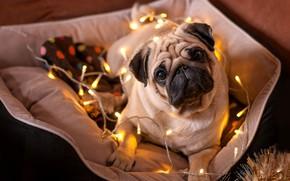 Picture look, dog, New year, bulldog, garland, 2018