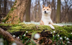 Picture forest, look, face, flowers, nature, Park, background, tree, glade, moss, dog, spring, snowdrops, puppy, log, ...