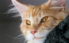 Picture cat, look, red, muzzle, Maine Coon