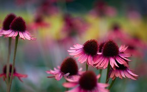 Picture flowers, nature, background, cute, petals, blur, garden, pink, blurred, rudbeckia, Echinacea, bumps