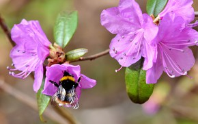Picture leaves, macro, flowers, nature, background, spring, pink, bumblebee, buds, rhododendron, Azalea