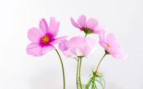 Picture macro, plant, petals, kosmeya
